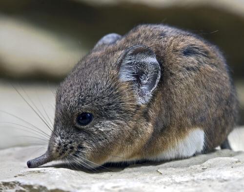 Musaraña: hábitat