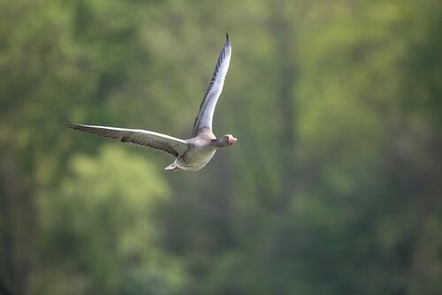 Oca: hábitat
