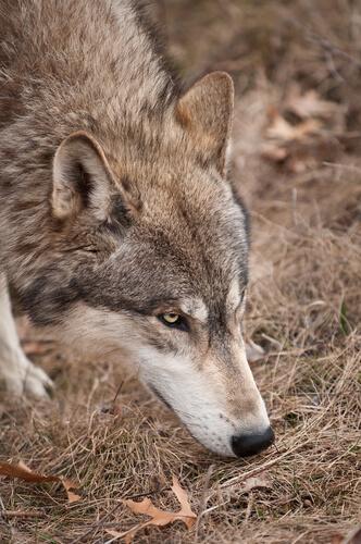 Olfato de los lobos