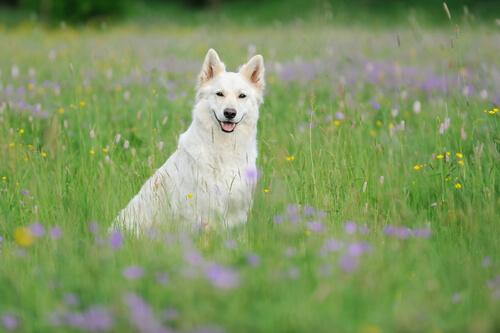 El pastor blanco suizo: bello e inteligente