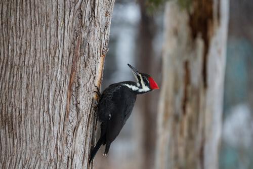 Pájaro carpintero: alimentación