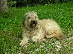 El pastor catalán o gos d'atura