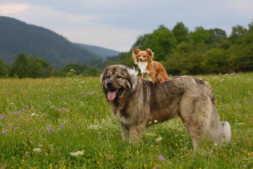 El pastor del Cáucaso, un gigante entre los perros