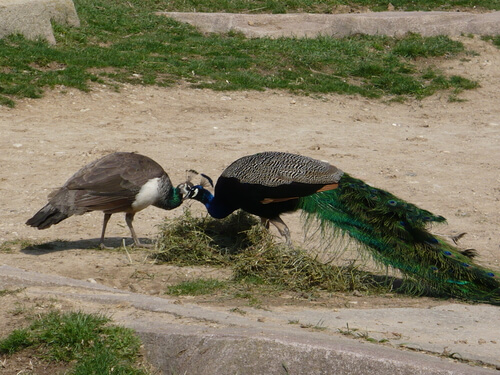 Pavo real: alimentación y hábitat