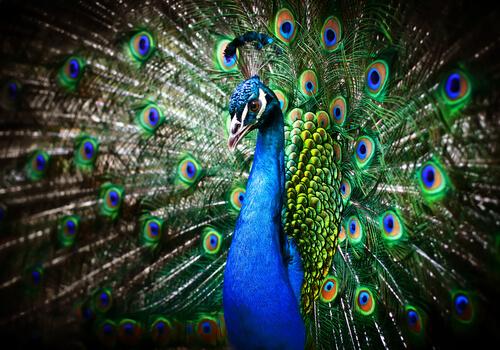 Pavo real: aprende todo sobre este majestuoso ave