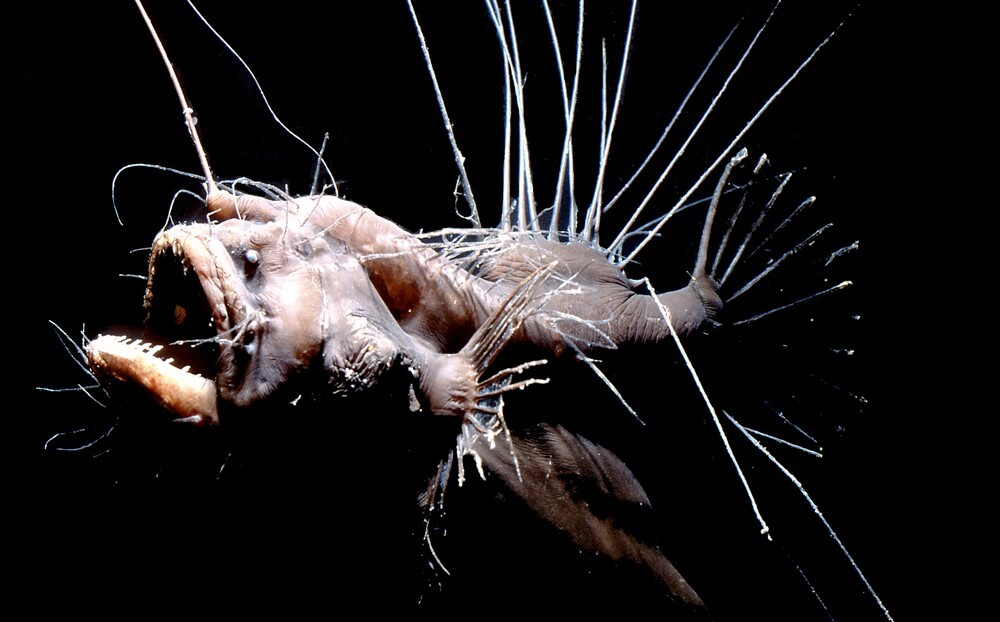 Peces abisales: pejesapo espinoso
