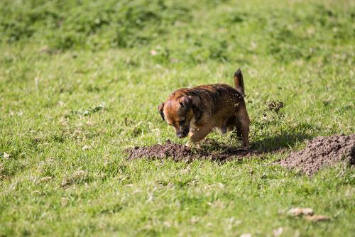 Perro cava hoyos