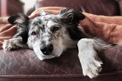 Gripe en perros: síntomas y tratamiento