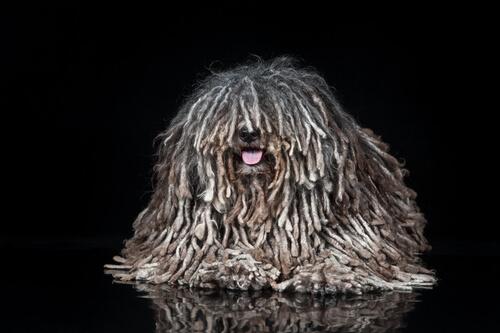 Perro puli con rastas