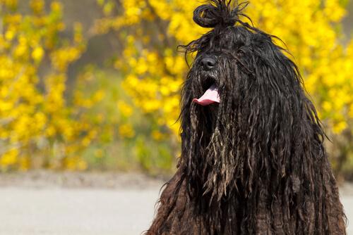 Bergamasco, raza de perro de los Alpes Italianos