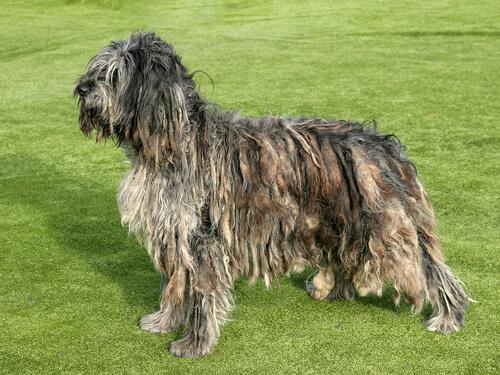 Perro de raza Bergamasco: comportamiento