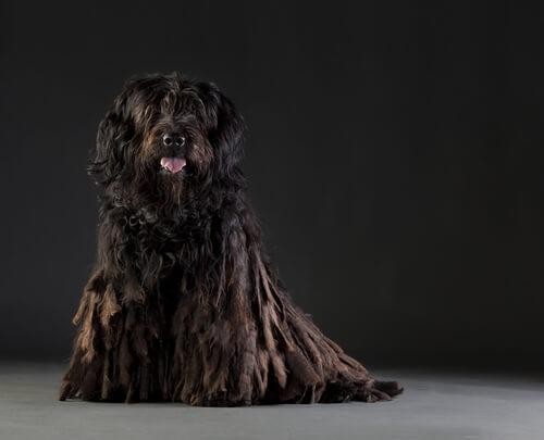 Perro de raza Bergamasco: cuidados