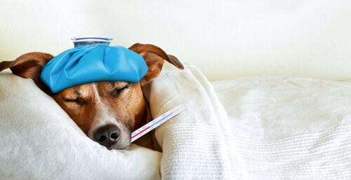 Perro resfriado: síntomas