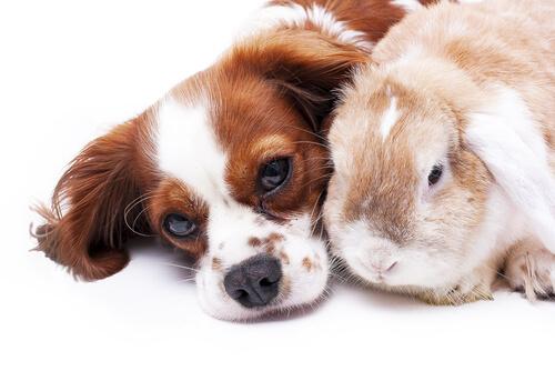 Perro y conejo: compatibilidad