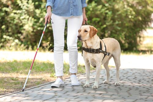El labrador es una de las razas de perros guías