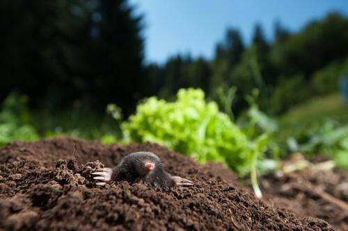 Usos habituales de la cetrería: control de una plaga de topillos