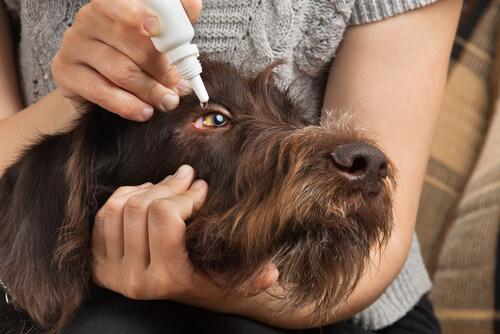 Poner gotas a los ojos del perro