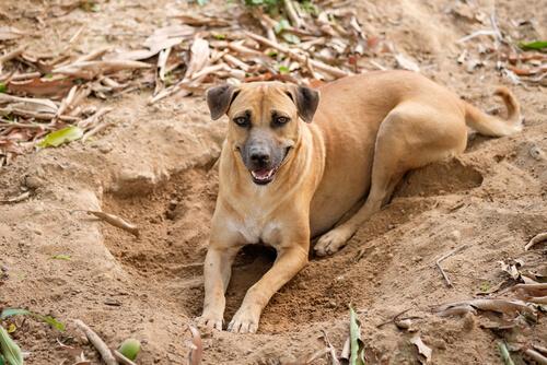 Por qué los perros cavan hoyos