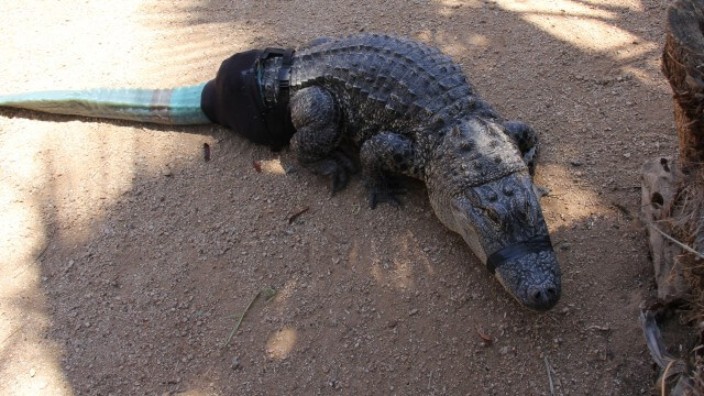 Prótesis en cocodrilo
