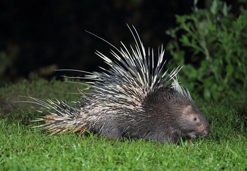 Puercoespín crestado: hábitat
