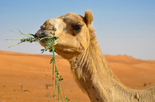 La curiosa alimentación del camello