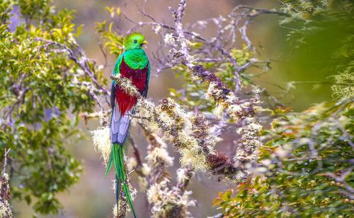 Quetzal: ave nacional de Guatemala