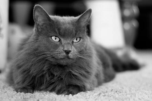 Raza gato nebelung: cuidados