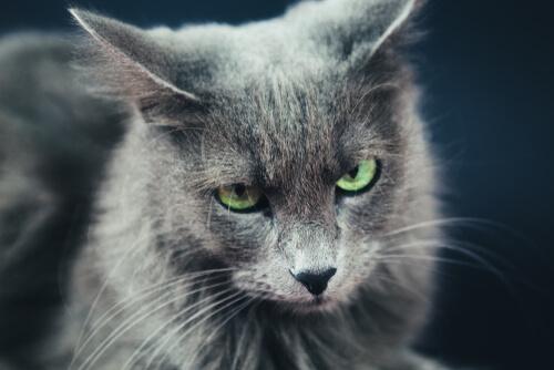 Raza de gatos nebelung: características