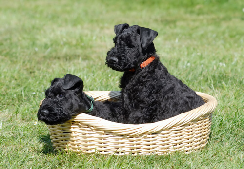 Raza Kerry Blue Terrier: carácter