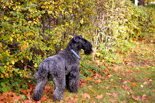 Raza Kerry Blue Terrier: cuidados