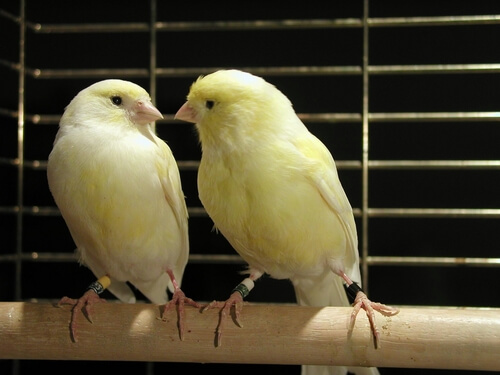 Consejos para la cría de canarios
