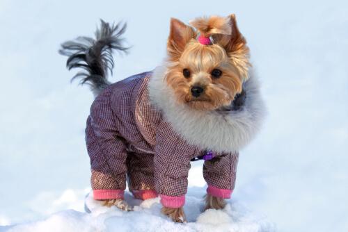 Ropa para perros yorkshire terrier