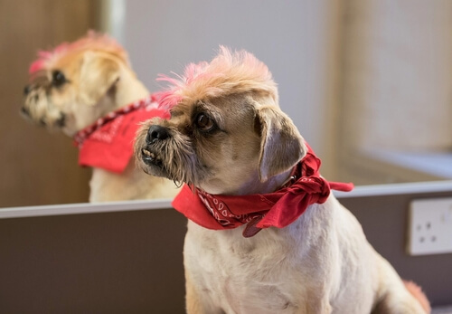 Dog with dyed fur and a haircut wearing a bandana