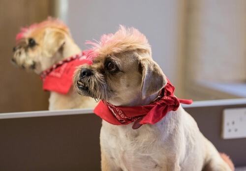 ¿Se puede teñir el pelo del perro?