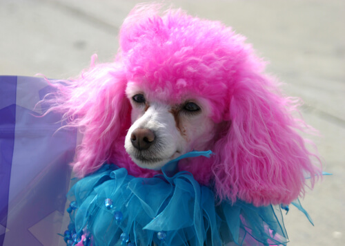 Dressed-up Poodle with pink fur: dyeing an animals's fur.