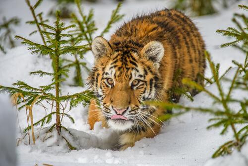 Todo sobre la fauna siberiana