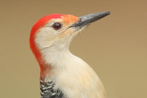 Tipos de pájaro carpintero