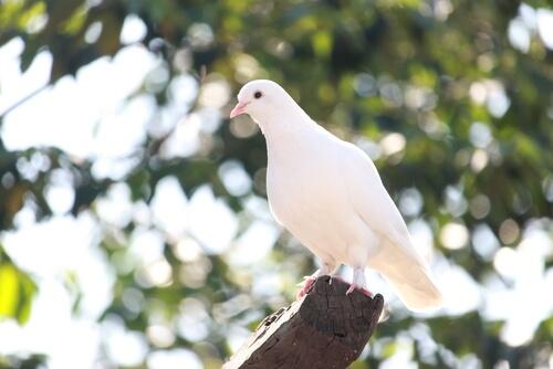 Tipos de palomas: blancas
