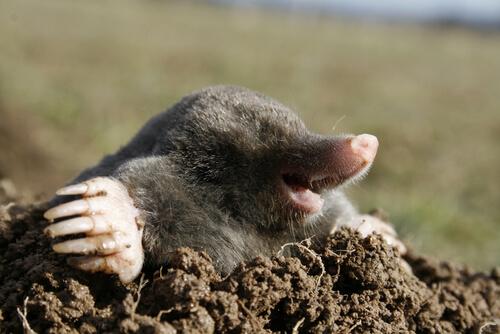 Topo: alimentación y hábitat