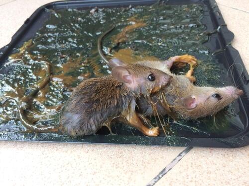 Soluciones para las plagas de ratones