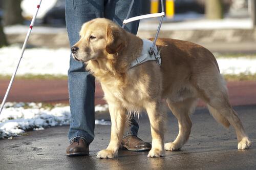 Vida de un perro guía