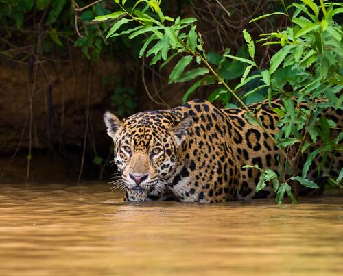 Yaguaraté: comportamiento