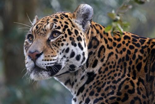 Yaguaraté: hábitat