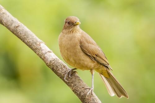 Yiguirro de Costa Rica