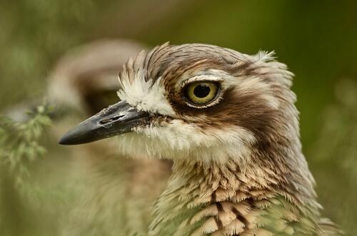 Alcarván: pájaro