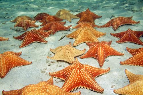 Alimentación de la estrella de mar
