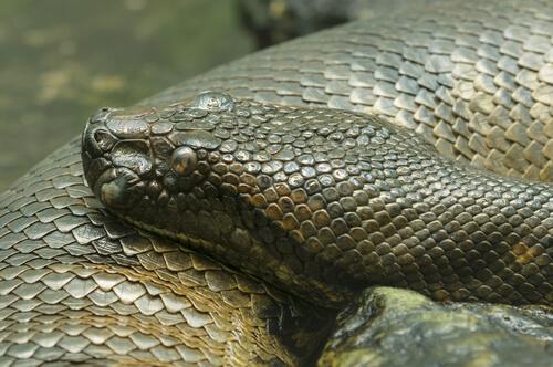5 serpientes constrictoras