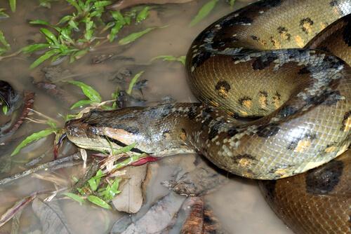 Anaconda verde: características