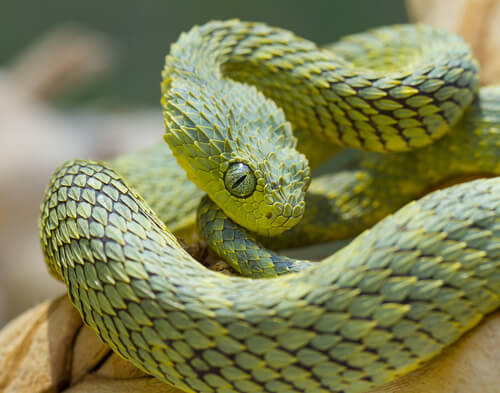 Atheris hispida: serpiente