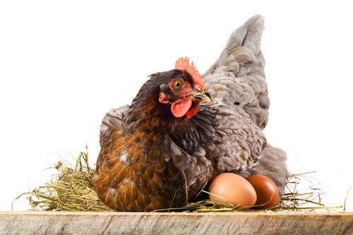Une poule couve ses oeufs
